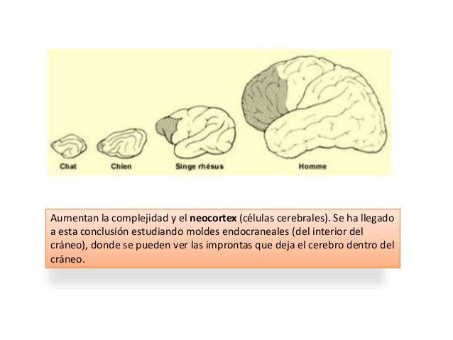 La capacidad de hablar depende de un gen (FOXP2) que controla la arquitectura cerebral, los músculos faciales y el aparato...