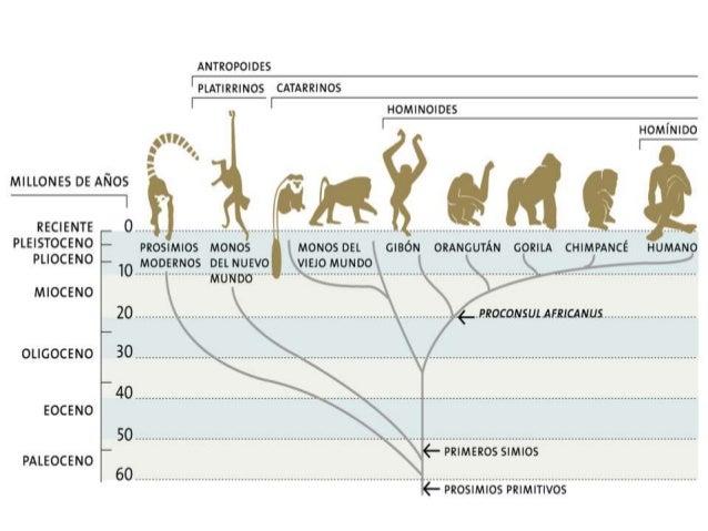 Las características propiamente humanas son: 1. La posición erguida: El bipedismo (caminar sobre dos piernas y no a 4 pata...