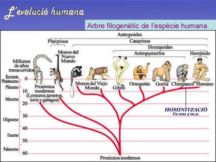 L'evolució humana Arbre filogenètic de l'espècie humana