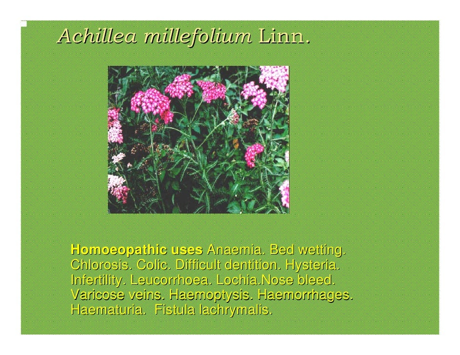 Achillea millefolium Linn.      Homoeopathic uses Anaemia. Bed wetting.  Chlorosis. Colic. Difficult dentition. Hysteria. ...