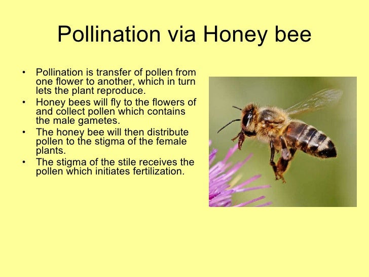 Honey Bee Presentation Final