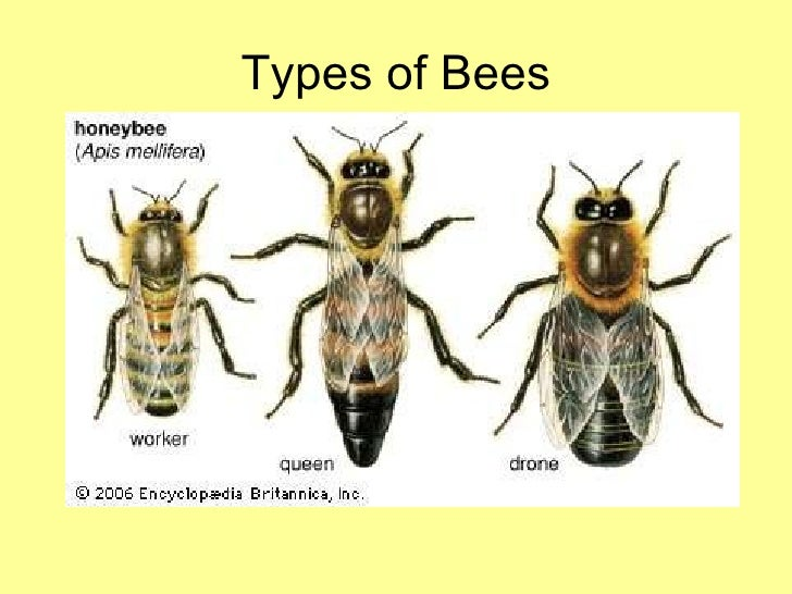 drones and worker bees with Honey Bee Presentation Final on Naturalist worksheets also Honey Bee Presentation Final likewise Fibonacci as well Watch together with All About Honey Bees.