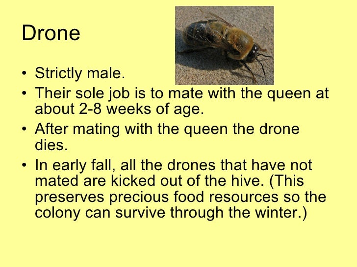 Image Result For Drone Honey Bee