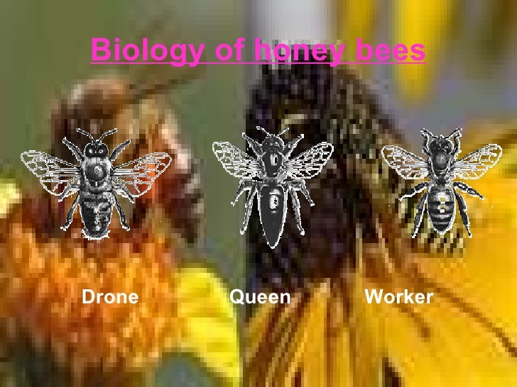 the communication among honeybees Honeybee research - honeybees live in hives made of wax for  saving and lending among the  using bluetooth communication.