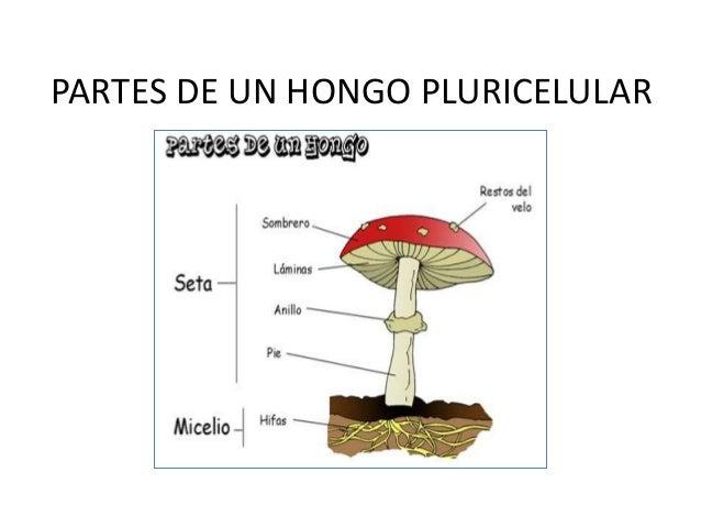 Reino fungi o de los hongos - El moho es un hongo ...