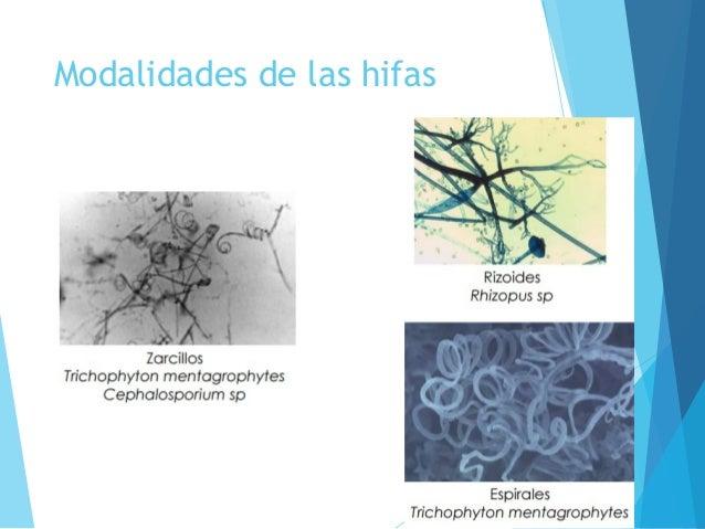 Morfologia de hongos y levaduras pdf to word
