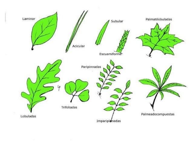Hongos algas y plantas for Tipos de arboles y caracteristicas