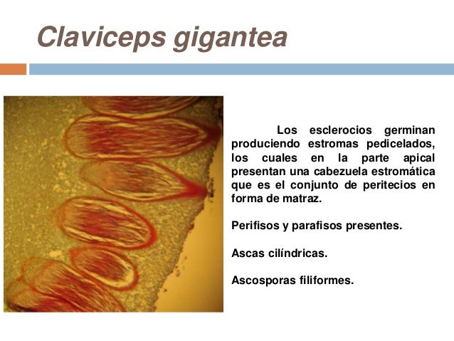 CLAVICEPS GIGANTEA PDF DOWNLOAD