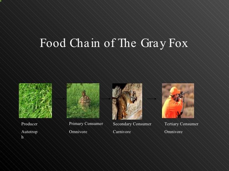 Gray Fox Food Chain
