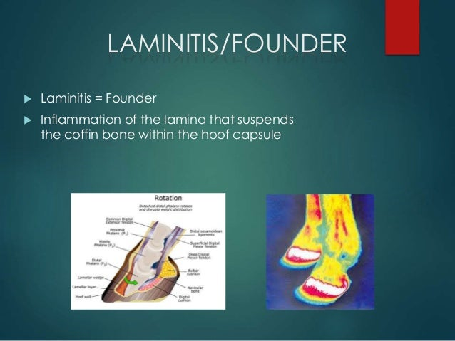 an overview of laminitis a serious problem in horses Meet the horses lameness contact  but in serious cases it may take a year or more for a laminitic hoof to  this website has a good overview of laminitis.