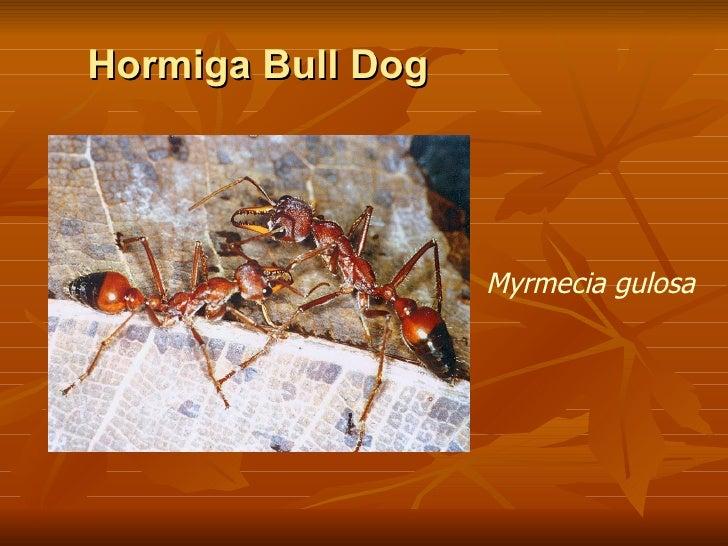 Hormiga Bull Dog Myrmecia  gulosa