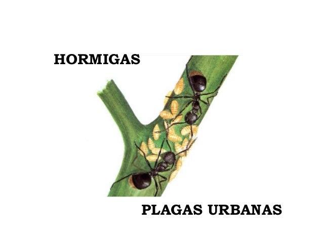 HORMIGAS           PLAGAS URBANAS