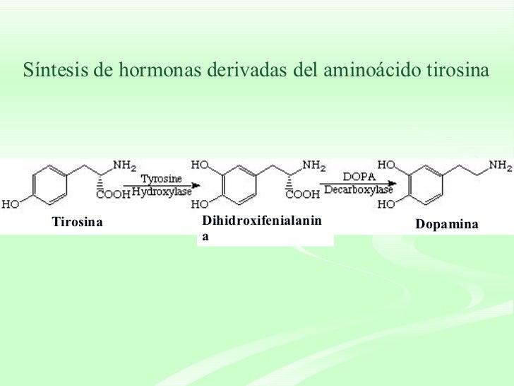 Síntesis de hormonas derivadas del aminoácido tirosina Tirosina   Dihidroxifenialanina Dopamina