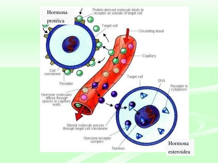 hormonas esteroideas efectos metabolicos