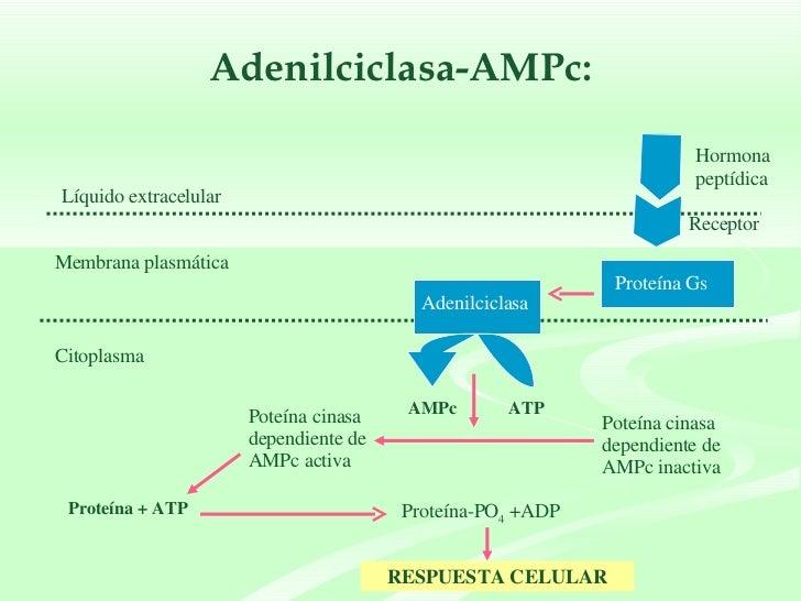Adenilciclasa-AMPc: Hormona peptídica Líquido extracelular Proteína Gs Membrana plasmática Adenilciclasa Citoplasma ATP AM...
