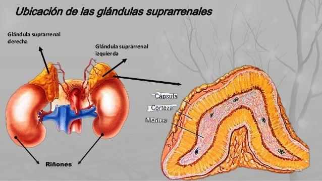 Hormonas suprarrenales