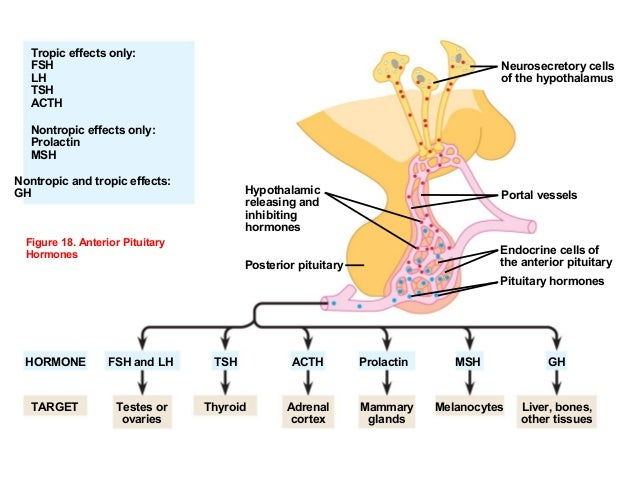 hypothalamic hormones The release of 8 major hormones by the hypophysis,  with the hypothalamic sulcus  hypothalamus often disrupt the state of the sleep-waking cycle.