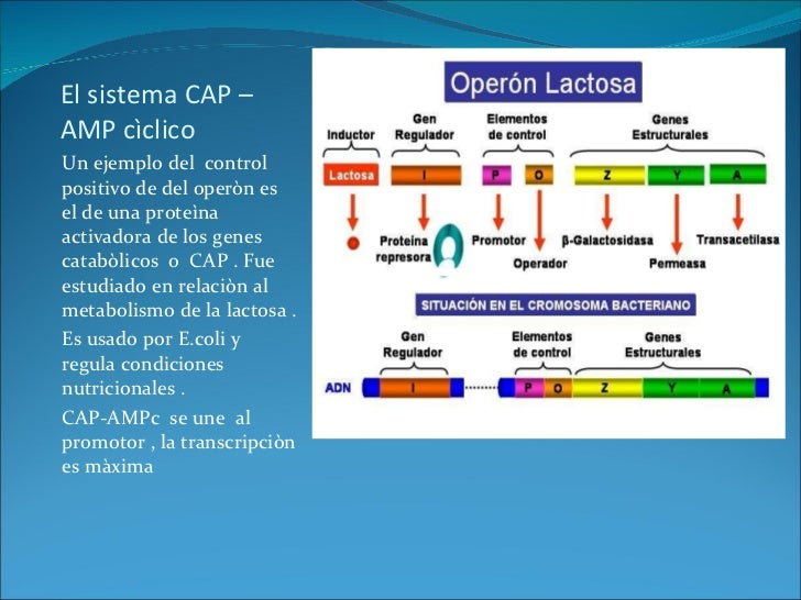 operones catabolicos y anabolicos