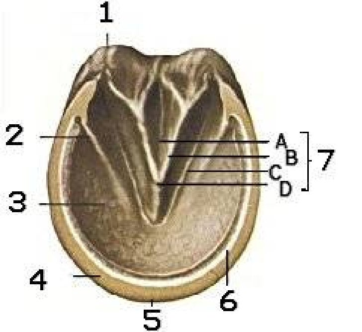 Horse Hoof Diagram