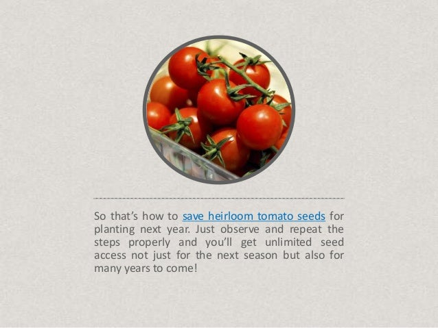 how to prepare tomato seeds for planting