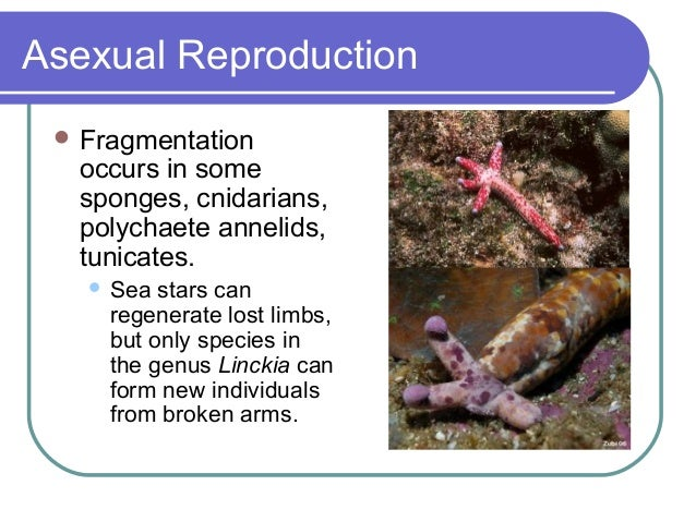 Annelids asexual reproduction in bacteria