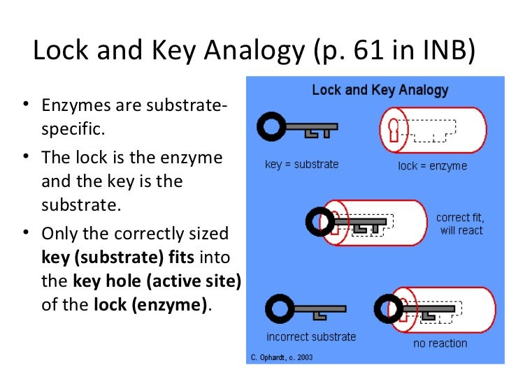 """how do enzymes work Each enzyme is designed to do a specific task—enzymes are not general workers """"proteolytic"""" enzymes such as pepsin and trypsin work on proteins, amylase on carbohydrates, lipase on fats when they are not helping to break down compounds, they help synthesize them."""