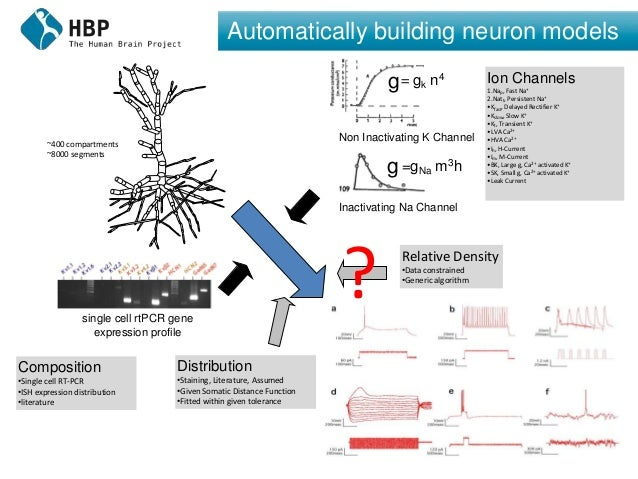 Automatically building neuron models g=gNa m3h Inactivating Na Channel Non Inactivating K Channel g= gk n4 Distribution •S...
