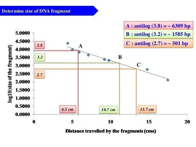 Determine size of DNA fragment A B 6.5 cm 10.7 cm 13.7 cm 2.7 3.2 3.8 A : antilog (3.8) = ~ 6309 bp B : antilog (3.2) = ~ ...