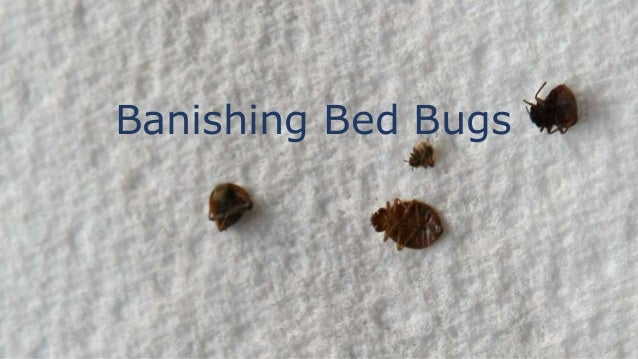 How Do Bed Bugs Live 28 Images How Long Do Bed Bugs Live Kill Bed Bugs Pest Control Toronto