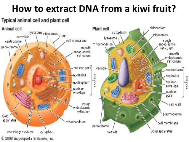 How to extract DNA from a kiwi fruit?