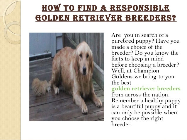 How to find a healthy golden retriever
