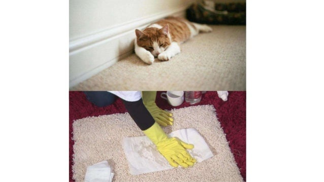 how to get cat urine out of carpet how to remove cat urine smell fro. Black Bedroom Furniture Sets. Home Design Ideas