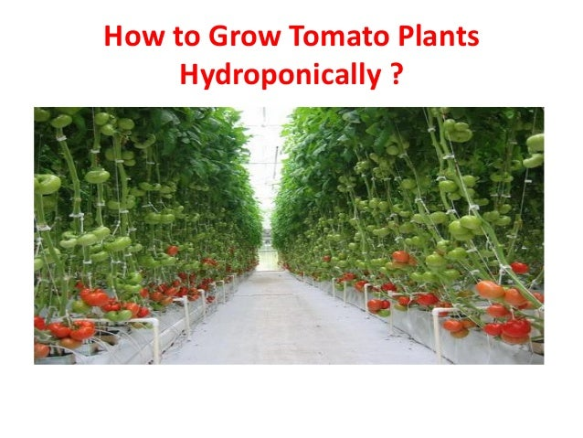 How To Grow Tomato Plants Hydroponically