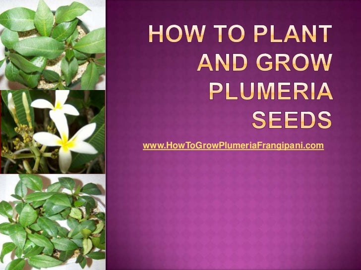 How To Plant And Grow Plumeria Seeds