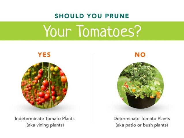 How To Prune Tomato Plants The Right Way