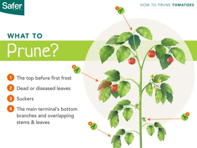 How to prune tomato plants the right way 7 ccuart