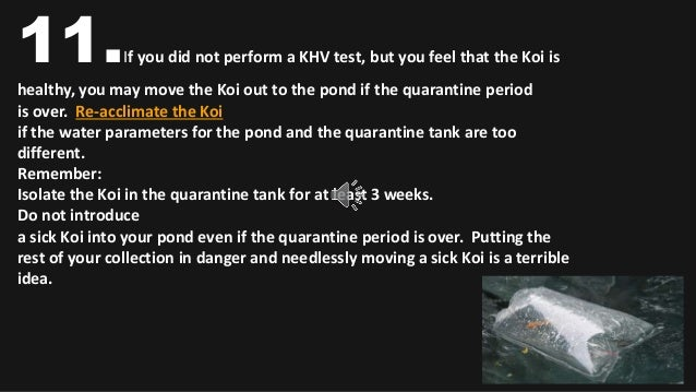 How to quarantine koi for Koi quarantine pond