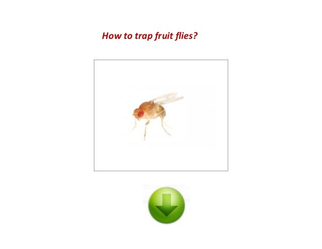 how to trap fruit flies. Black Bedroom Furniture Sets. Home Design Ideas