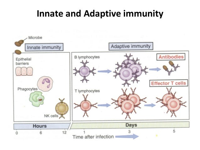 the adaptive immune system and how it works essay Most viral infections are controlled by the innate immune system  the innate  response, which we have discussed previously, functions.