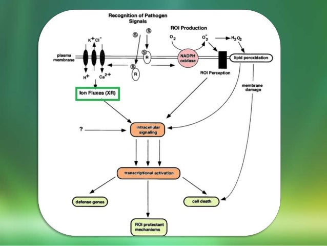 Hypersensitive Reaction In Plant And Their Mechanism