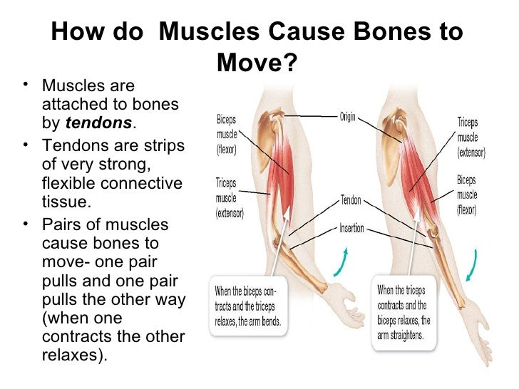 bones to muscles how do Start studying muscular and skeletal systems review learn vocabulary, terms muscles pull on bones to help us move can a muscle work alone to pull a bone.