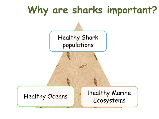 why sharks are important Why sharks are important sharks play a very important role in the ecosystem sharks being at the top of the food chain, dealing with marine life, keep the ecosystem on track.