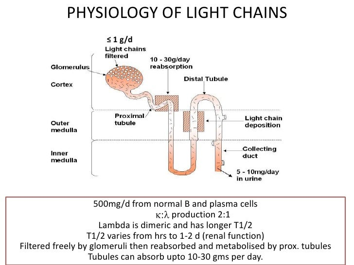 Delightful SERUM IMMUNOFIXATIONELECTROPHORESISu003cbr /u003e; 10. PHYSIOLOGY OF LIGHT CHAINS  ... Pictures Gallery