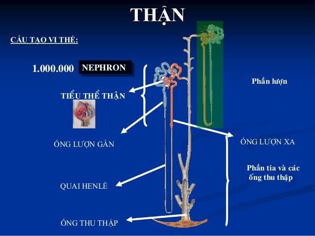 cuộn mạch bao Bowman ống lƣợn gần quai Henle ống lƣợn xa Đài thận nhỏ, Đài thận lớn, Bể thận