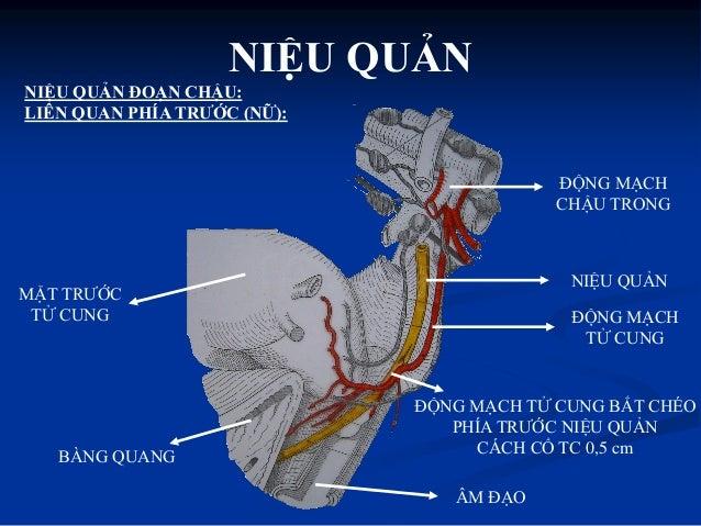 * Lớp vỏ có nhiều mạch máu nhỏ và một số tế bào hạch chi phối hoạt động tự động của niệu quản * Lớp cơ có 3 lớp: Lớp cơ ...
