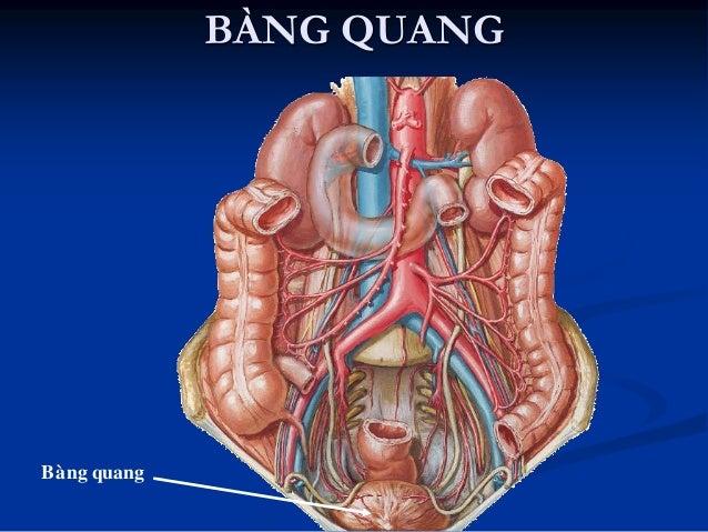 BÀNG QUANG  Hình thể thay đổi tùy lƣợng nƣớc tiểu  Dung tích trung bình 250 – 300ml  2 – 3 lít  Tứ diện: Mặt trên: phú...