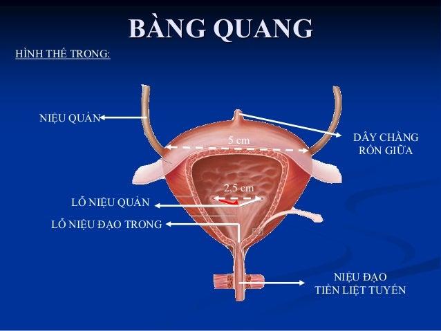 Phân đoạn  Về giải phẫu: chia làm 3 đoạn  Đoạn tiền liệt  Đoạn màng  Đoạn xốp  Về sinh lý: chia 2 đoạn  Niệu đạo sa...