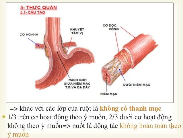  27 => khác với các lớp của ruột là không có thanh mạc  1/3 trên cơ hoạt động theo ý muốn, 2/3 dƣới cơ hoạt động không t...