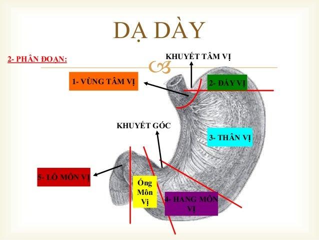  2- ĐÁY VỊ 3- THÂN VỊ 4- HANG MÔN VỊ Ống Môn Vị 5- LỖ MÔN VỊ KHUYẾT GÓC KHUYẾT TÂM VỊ 1- VÙNG TÂM VỊ 2- PHÂN ĐOẠN: DẠ DÀY
