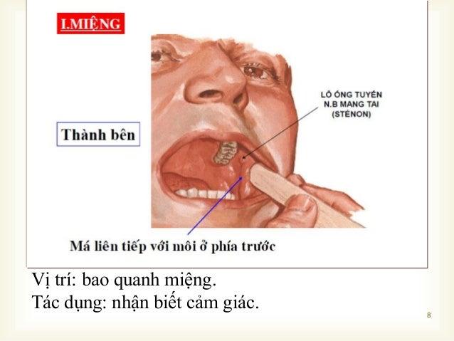  8 Vị trí: bao quanh miệng. Tác dụng: nhận biết cảm giác.